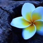 Frangipani-Flowers-Photography-