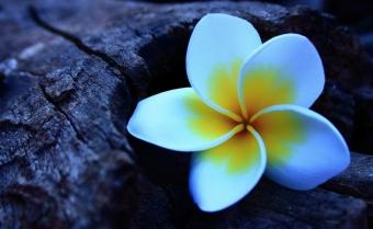 frangipani-flowers-photography-e1439236111806